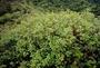 Thymelaeaceae - Wikstroemia coriacea