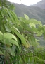 Urticaceae - Boehmeria virgata