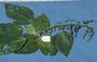 Urticaceae - Pipturus argenteus var. lanosus