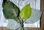 Urticaceae - Pipturus schaeferi