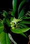 Rhizophoraceae - Crossostylis biflora