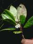 Aquifoliaceae - Ilex anomala