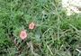 Primulaceae - Lysimachia arvensis