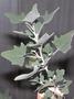 Amaranthaceae - Chenopodium oahuense