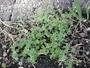 Asteraceae - Cotula australis