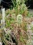 Caryophyllaceae - Schiedea haleakalensis