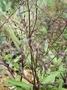 Caryophyllaceae - Schiedea laui