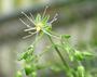 Caryophyllaceae - Schiedea menziesii