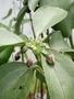 Caryophyllaceae - Schiedea obovata