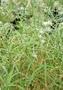 Caryophyllaceae - Schiedea sarmentosa