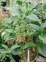 Caryophyllaceae - Schiedea trinervis