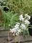 Caryophyllaceae - Silene perlmanii