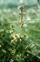 Caryophyllaceae - Schiedea adamantis