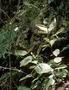 Caryophyllaceae - Schiedea membranacea