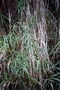Caryophyllaceae - Schiedea stellarioides