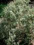 Amaranthaceae - Achyranthes splendens var. rotundata