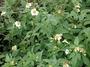 Asteraceae - Bidens alba var. radiata