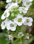 Brassicaceae - Lobularia maritima