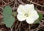 Convolvulaceae - Ipomoea obscura