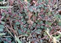 Euphorbiaceae - Euphorbia prostrata