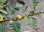 Fabaceae - Chamaecrista nictitans var. glabrata