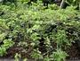 Fabaceae - Kanaloa kahoolawensis