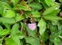 Fabaceae - Mimosa pudica var. unijuga