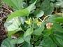 Fabaceae - Vigna marina