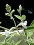 Lamiaceae - Haplostachys haplostachya