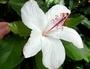 Malvaceae - Hibiscus arnottianus subsp. arnottianus