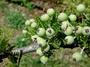 Rosaceae - Osteomeles anthyllidifolia