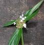 Rubiaceae - Spermacoce assurgens