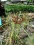 Cyperaceae - Cyperus javanicus