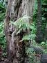 Polypodiaceae - Phlebodium aureum