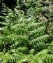 Athyriaceae - Diplazium esculentum