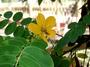 Fabaceae - Senna surattensis