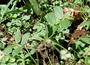 Euphorbiaceae - Euphorbia hirta