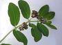 Euphorbiaceae - Euphorbia hypericifolia