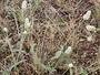 Amaranthaceae - Gomphrena celosioides