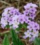 Boraginaceae - Heliotropium amplexicaule