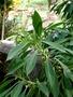 Scrophulariaceae - Myoporum sandwicense