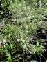 Brassicaceae - Lepidium serra