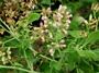 Asteraceae - Pluchea indica