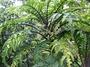 Campanulaceae - Cyanea asplenifolia