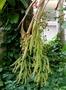 Arecaceae - Pritchardia lowreyana
