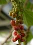 Urticaceae - Neraudia kauaiensis