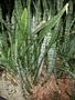Asparagaceae - Sansevieria trifasciata