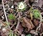 Portulacaceae - Portulaca villosa