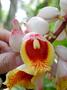 Zingiberaceae - Alpinia zerumbet