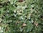 Amaranthaceae - Alternanthera caracasana
